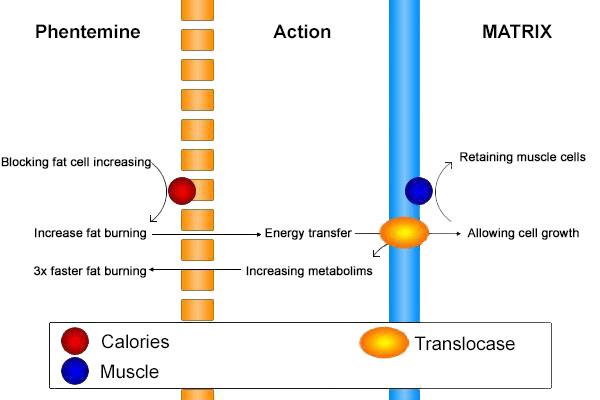 Forskolin biotest